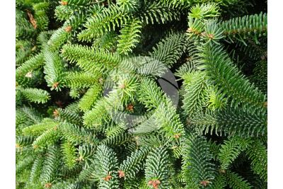 Abies numidica. Algerian fir. Stem. Lower surface
