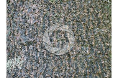 Abies pinsapo. Spanish fir. Stem
