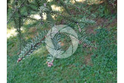 Abies pinsapo. Spanish fir. Leaf