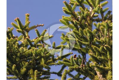 Abies pinsapo. Spanish fir. Male strobilus