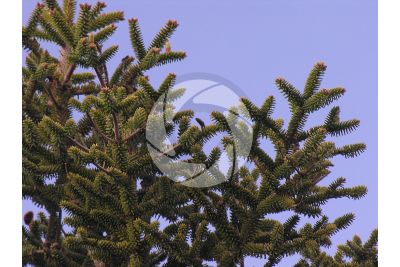 Abies pinsapo. Spanish fir. Female strobilus