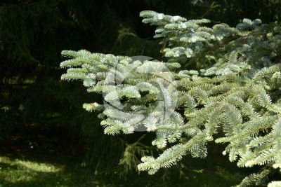 Abies procera var glauca. Noble fir. Leaf