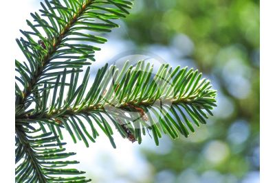 Abies procera var glauca. Noble fir. Leaf. Lower surface