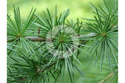 Cedrus brevifolia. Cyprus cedar. Leaf
