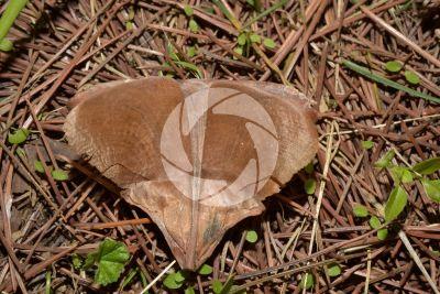 Cedrus deodara. Himalayan cedar. Seed