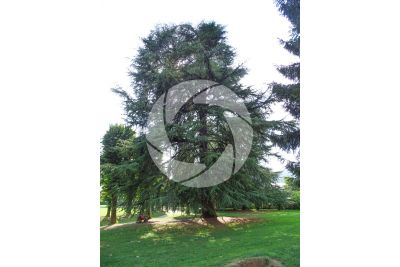Cedrus libani. Cedar of Lebanon