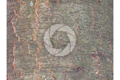 Cedrus libani. Cedar of Lebanon. Stem