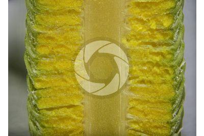 Cedrus libani. Cedro del Libano. Strobilo maschile. Sezione longitudinale radiale. 5X