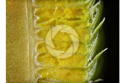Cedrus libani. Cedro del Libano. Strobilo maschile. Sezione longitudinale radiale. 10X
