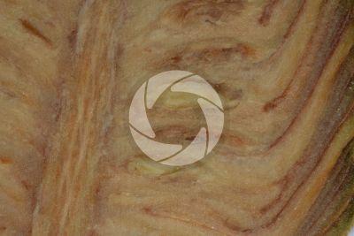 Cedrus libani. Cedro del Libano. Strobilo. Sezione longitudinale radiale
