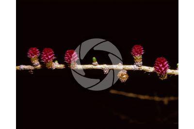 Larix decidua. European larch. Male and female strobili