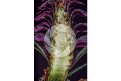 Larix decidua. European larch. Female strobilus. Longitudinal section