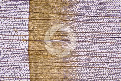 Larix decidua. European larch. Stem. Transverse section. 64X