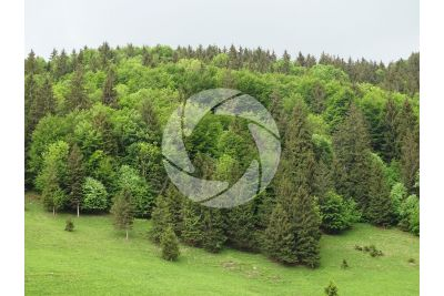 Picea abies. Abete rosso
