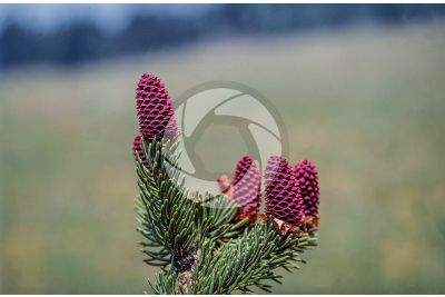 Picea abies. Abete rosso. Strobilo femminile