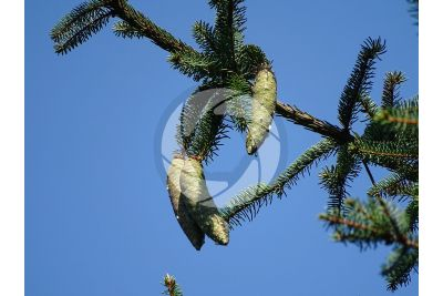 Picea abies. Norway spruce. Strobilus