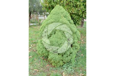 Picea glauca albertiana conica. Abete rosso di Alberta