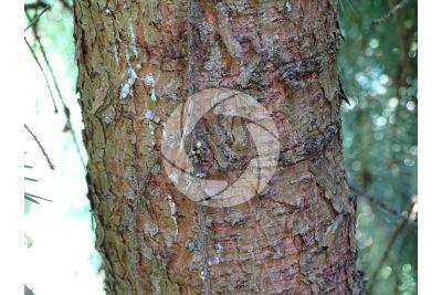 Picea omorika. Serbian spruce. Stem