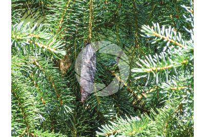 Picea omorika. Abete di Serbia. Strobilo