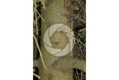 Picea orientalis. Caucasian spruce. Stem