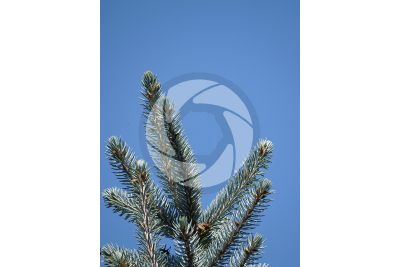 Picea pungens kosteriana hoopsii. Blue spruce. Leaf