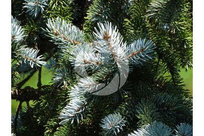 Picea pungens kosteriana hoopsii. Abete delle Montagne Rocciose. Foglia