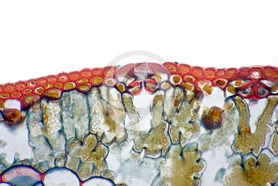 Pinus sp. Leaf. Transverse section. 250X