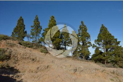 Pinus canariensis. Canary Island pine