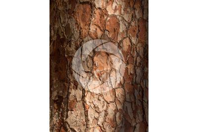 Pinus canariensis. Pino delle Canarie. Fusto