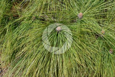 Pinus canariensis. Pino delle Canarie. Foglia