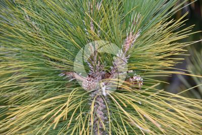 Pinus canariensis. Pino delle Canarie. Strobilo femminile