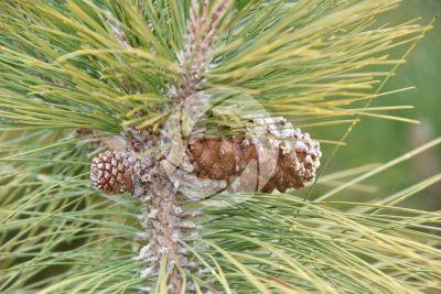 Pinus canariensis. Pino delle Canarie. Strobilo
