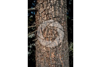 Pinus cembra. Pino cembro. Fusto