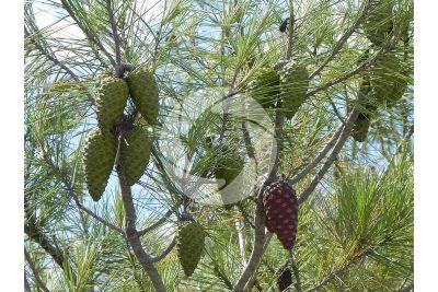 Pinus halepensis. Aleppo pine. Strobilus