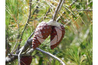 Pinus halepensis. Pino d'Aleppo. Strobilo