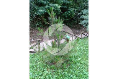 Pinus hwangshanensis. Huangshan pine