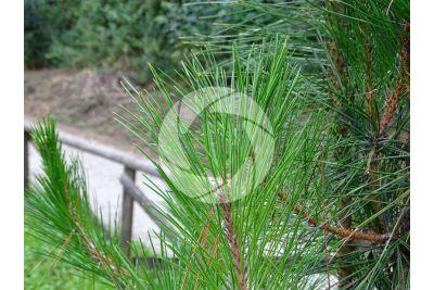 Pinus hwangshanensis. Huangshan pine. Leaf
