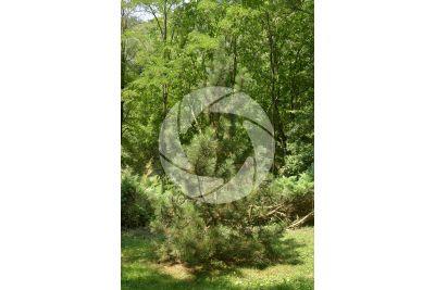 Pinus leucodermis. Pino loricato