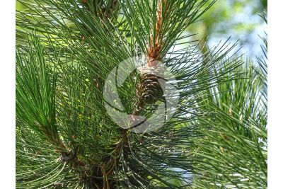 Pinus leucodermis. Pino loricato. Strobilo