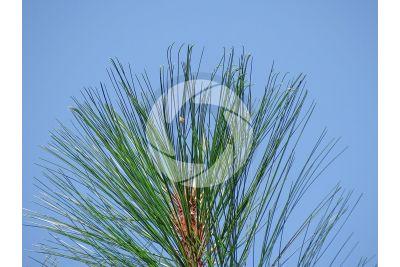 Pinus montezumae. Montezuma pine. Leaf