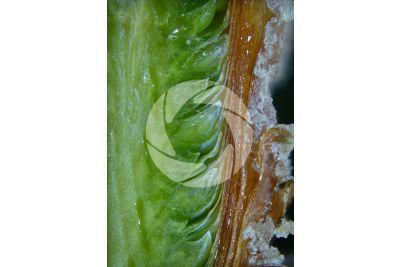 Pinus mugo. Pino mugo. Gemma. Sezione longitudinale. 15X