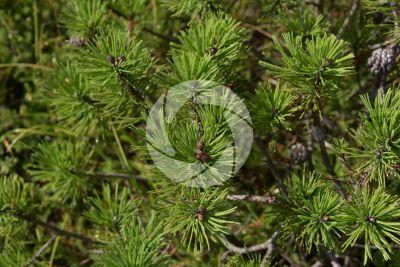 Pinus mugo. Pino mugo. Strobilo femminile