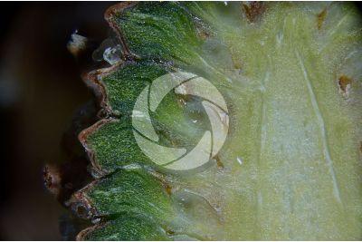 Pinus mugo. Pino mugo. Strobilo femminile. Sezione longitudinale. 15X