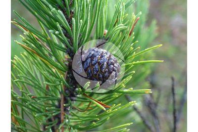 Pinus mugo. Mountain pine. Strobilus