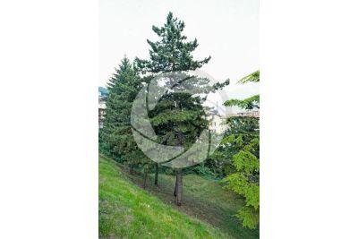 Pinus nigra. Pino nero