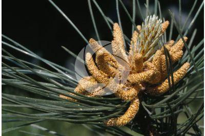 Pinus nigra. Pino nero. Strobilo maschile