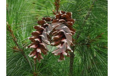 Pinus nigra. Pino nero. Strobilo