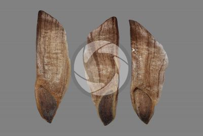 Pinus nigra. Black pine. Seed