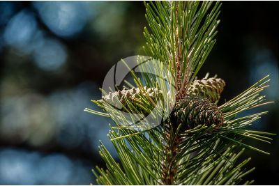 Pinus nigra var italica. Italian black pine. Strobilus