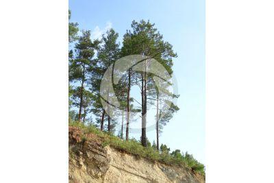 Pinus nigra var pallasiana. Crimean pine